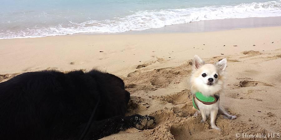 chihuahua-dog-on-beach-with-newfoundland-dog